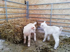 Twin pet wethers for sale