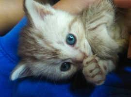 British silver shorthair and longhair kittens