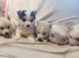 5 Beautiful Malamute x Husky Puppies