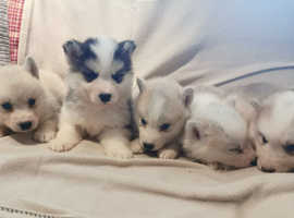 3 Beautiful Malamute x Husky Puppies ( Males )