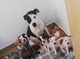 6 Beautiful Staffy Pups Left