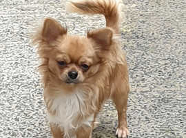 KC long haired Chihuahua boy for sale