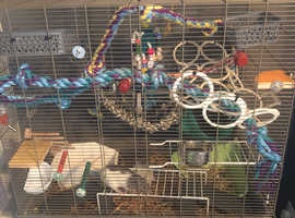 Two rats and fully equipped cage