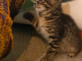 We have 6 eight week old Bengal Cross kittens