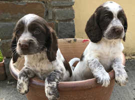Sprocker Spaniel puppies looking for their forever homes.
