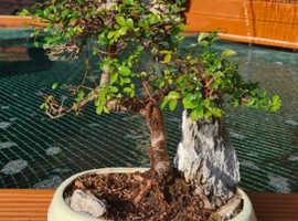 Bonsai trees wanted