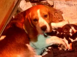 Well Bred KC Beagle Puppies READY NOW!