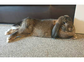 Very large giant french lop doe