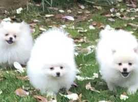 White Pomeranian Only one Boy left