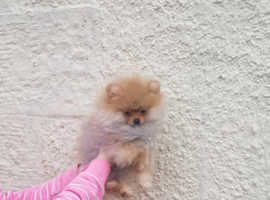 Extremely small pomeranian female puppy