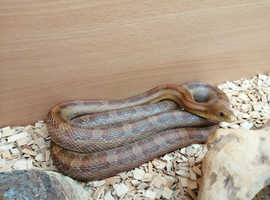 2 years old corn x rat snake