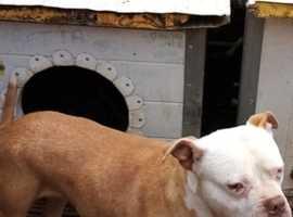 Bully cross female for sale £300