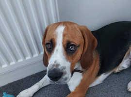 Male Beagle 19 Months