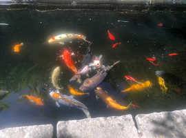 Free pond and fish clearance