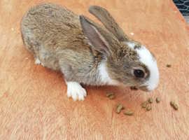 Baby English Spot Rabbits