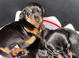 Black and Tan miniature dachshund puppies