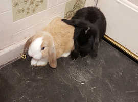 2 male loving rabbits with full set up