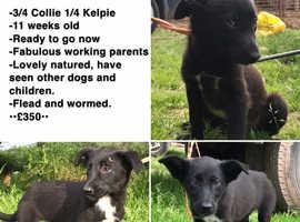 Working collie pups 3 left