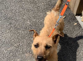 Lakeland terrier female