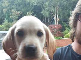 Adorable Labrador Pups, Excellent Pedigree Ready Now