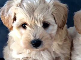 Adorable westiepoo puppies