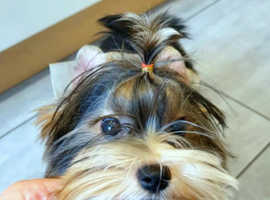 Super miniature Biewer Yorkshire Terrier