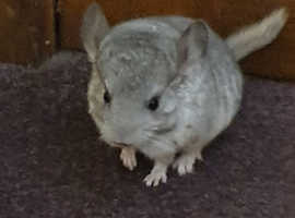BABY CHINCHILLA FOR SALE BOY - £100 READY NOW