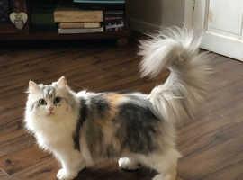 Pure bred persian female cat