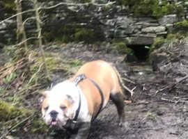 Amazing English Bulldog kc reg female