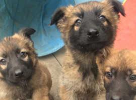 Czech Shepherd Puppies.
