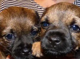 KC Reg Border Terrier pedigree puppies ready Sunday 26th May