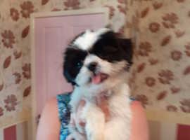 Black and white female shih tzu 16 weeks old