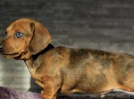 Pra clear miniature dachshund