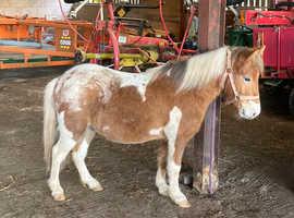 4yr old Skewbald Shetland pony  gelding unregistered