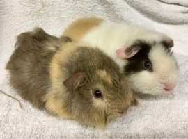 Lovely Pair Of Baby Male Guinea Pigs