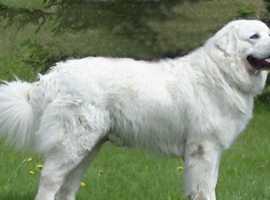 Polish Tatra Mountain Sheepdog ,Owczarek Podhalanski