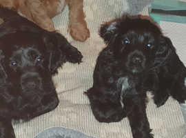 2 beautiful Cockapoo pups