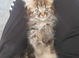 Long Haired Tabby Kitten - Female