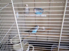I have 20 baby budgies for sale