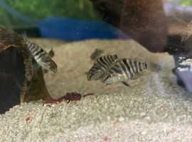 6 week old convict cichlid fry