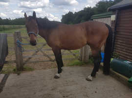 17hh handsome dutch warmblood for full loan or sale