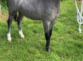 Top class yearling gelding