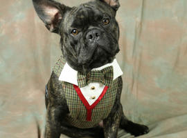 french bulldog health tested stud