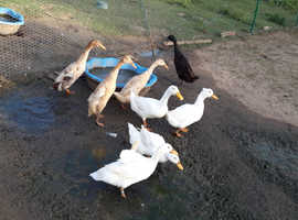 Aylesbury ducks for sale