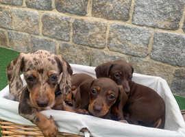 Dachshund puppies PRA CLEAR