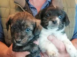 beautiful puggle puppies last 2