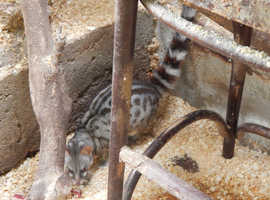 A breeding pair of Lesser Genets