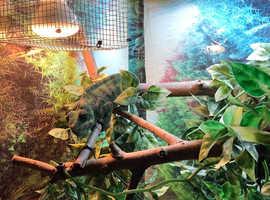 Pair nosy bee panther chameleons plus Vivariums