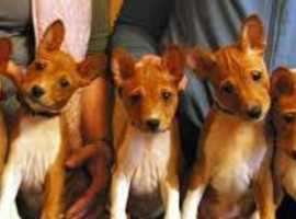 Wanted Basenji puppy