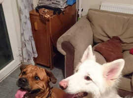 2 large dogs for rehoming